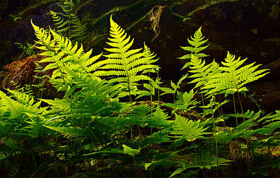 Natur Photograph - Fern Light by Phil Koch