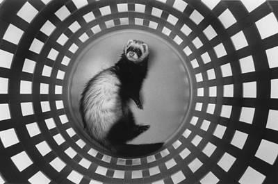 Ferret In Circles Print by Matt Plyler