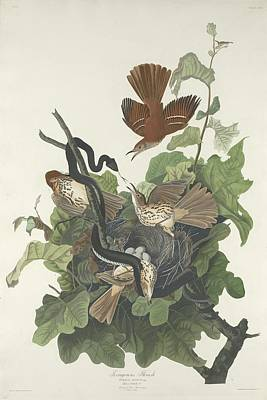 Wren Drawing - Ferruginous Thrush by John James Audubon