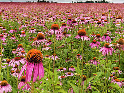 Field Of Echinacea Print by Jean Noren