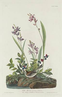 Sparrow Drawing - Field Sparrow by John James Audubon