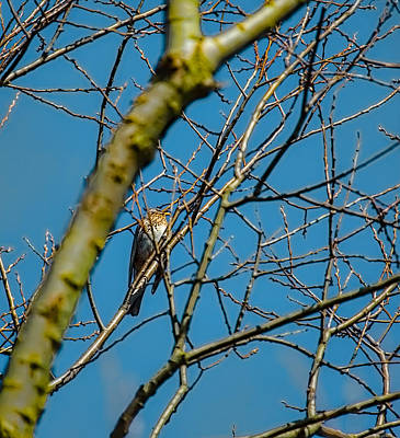 Trush Photograph - Fieldfare Sitting In A Tree by Leif Sohlman