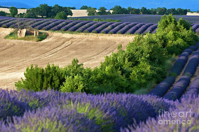 Fields Of Lavender And Harvested Wheat Print by Sami Sarkis