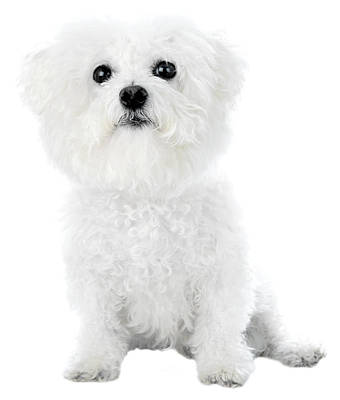 Fifi The Bichon Frise In White On White Print by Michael Ledray