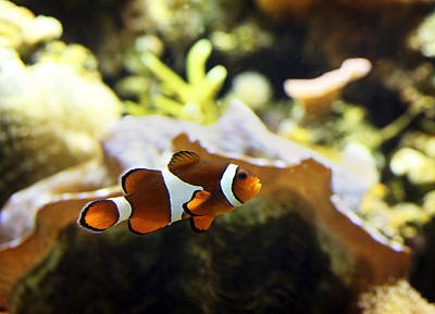 Clown Fish Photograph - Finding Nemo by Marilyn Hunt