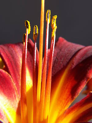 Macro Floral Photograph - Fire Lily by Amy Fose