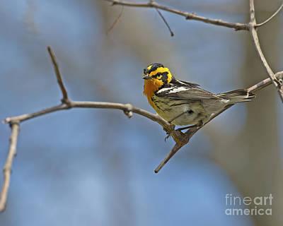 Of Birds Photograph - Fire Throat... by Nina Stavlund