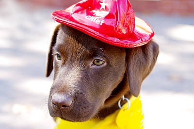 Chocolate Lab Photograph - Firefighter Pup by Toni Hopper