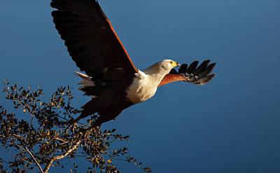 Fish Eagle Taking Flight Print by Johan Swanepoel