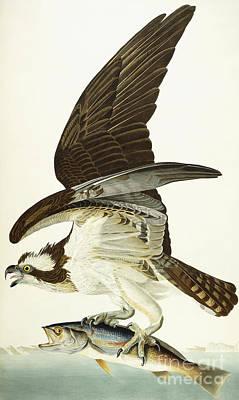 Osprey Painting - Fish Hawk by John James Audubon