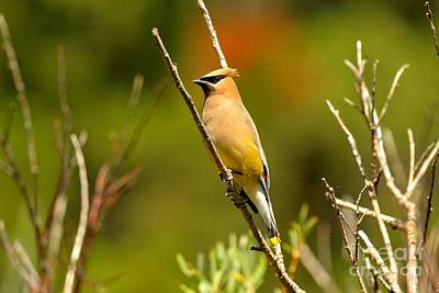 Fishercap Cedar Waxwing Print by Adam Jewell