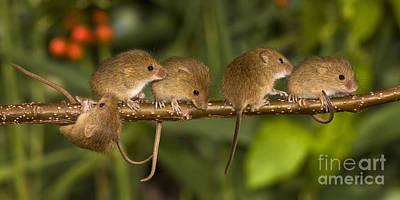 Mice Photograph - Five Eurasian Harvest Mice by Jean-Louis Klein & Marie-Luce Hubert