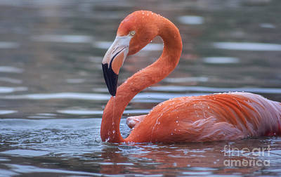 Flamingo And Water Drops Print by Rima Biswas
