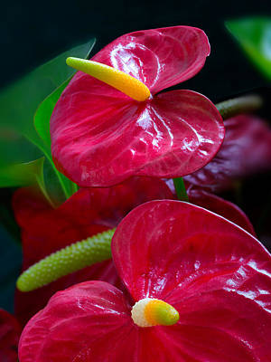 Anthurium Photograph - Flamingo Flowers by Lutz Baar