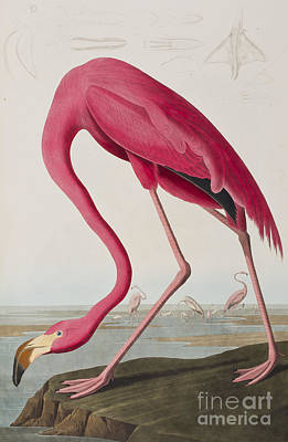 Edge Drawing - Flamingo by John James Audubon