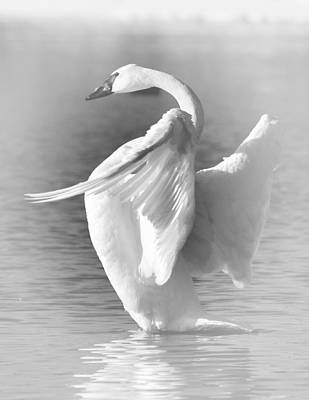 Swan Photograph - Flapping In Black And White by Larry Ricker