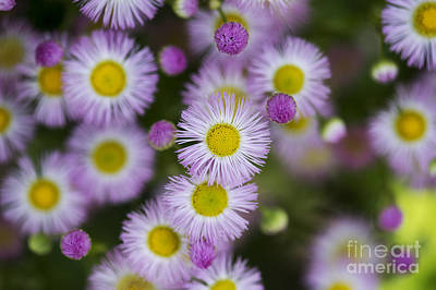 Soft Light Photograph - Fleabane Daises by Tim Gainey