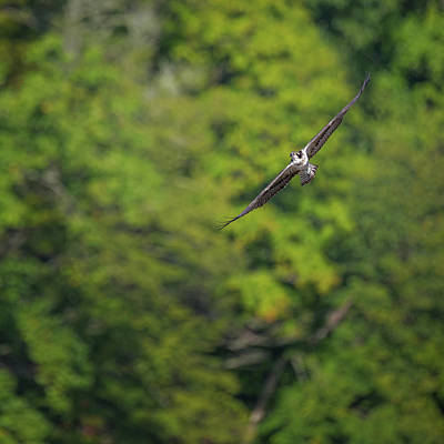 Minimalist Photograph - Flight Of The Osprey Square by Bill Wakeley