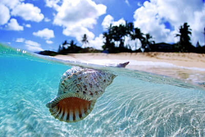 Floating Conch Shell Print by Sean Davey
