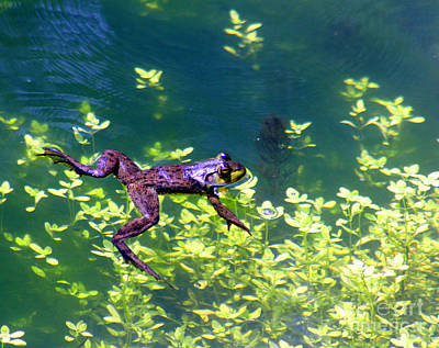 Amphibians Photograph - Floating Frog by Nick Gustafson