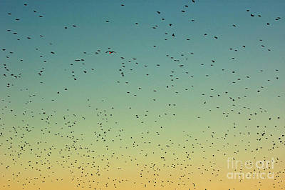 Flock Of Swallows Flying Together At Sunset Print by Sami Sarkis