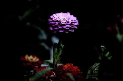 Floral October Zinnia End Of Season Purple 02 Print by Thomas Woolworth