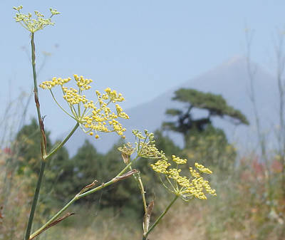 Flowers Photograph - Florets - Giant Fennel And El Teide by Elena Schaelike