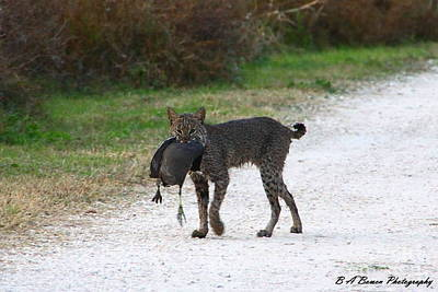 Florida Bobcat Catches An Evening Snack Print by Barbara Bowen