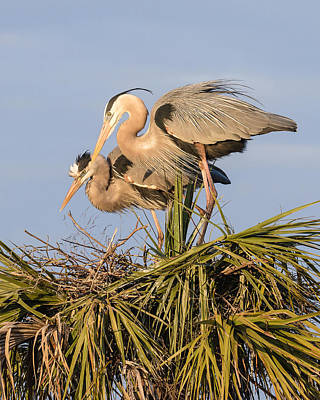 Florida Great Blue Herons Nesting Four Print by Bill Swindaman