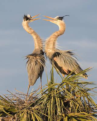 Florida Great Blue Herons Nesting One Print by Bill Swindaman