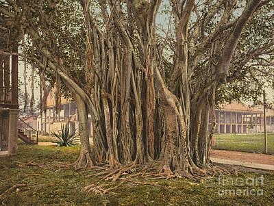 Florida: Rubber Tree, C1900 Print by Granger