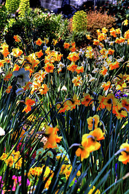 Daffodils Photograph - Flower Garden by David Patterson
