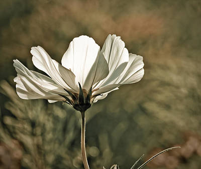 White Flower Photograph - Flower In The Sun by Maggie Terlecki