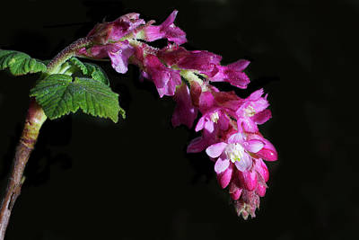 Pink Chaparral Currant, Ribes Malvaceum Print by Alessandra RC