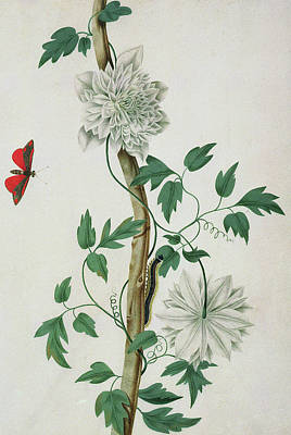 Flutter Drawing - Flower Studies, 18th Century by Peter Brown
