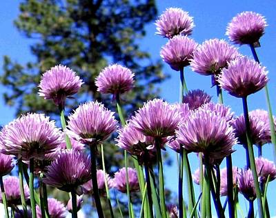 Flowering Chives Print by Will Borden