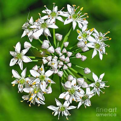 Flowering Garlic Chives Print by Kaye Menner
