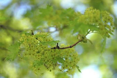 Photograph - Flowering Maple Tree by Jenny Rainbow