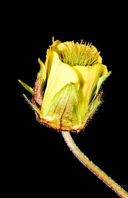 Grasshopper Digital Art - Flowers In Yellow by Toppart Sweden