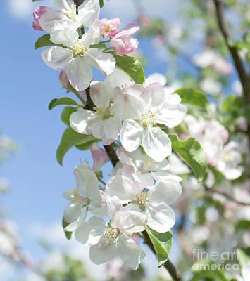 Nature Photograph - Flowers Of Apple Tree by Irina Afonskaya