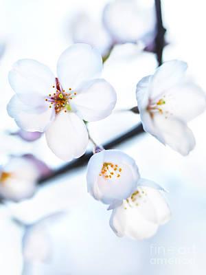 Flowers Of Japanese Cherry Blossom Print by Oleksiy Maksymenko