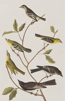 Warbler Drawing - Fly Catchers by John James Audubon