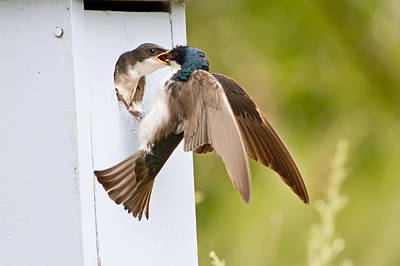 Swallow Chicks Photograph - Fly In Meal by Carl Jackson