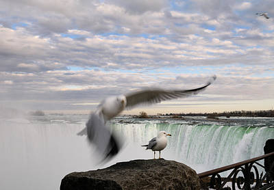 Animal Photograph - Flying And Standing Ring Billed Gull At A Rock Beside Niagara Fa by Reimar Gaertner
