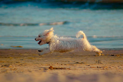 Maltese Photograph - Flying Dog by Harry Spitz