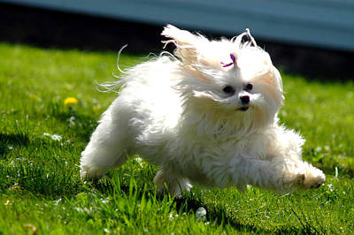 Maltese Dog Photograph - Flying Fluff by Emily Stauring