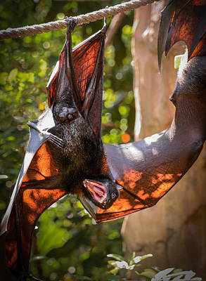 Fruits Photograph - Flying Fox  by Zina Stromberg