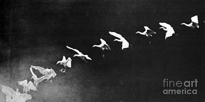 Flying Heron, 1886 Print by Science Source