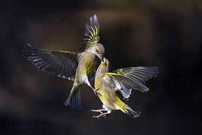 Wings Photograph - Flying Kiss 11 by Marco Redaelli