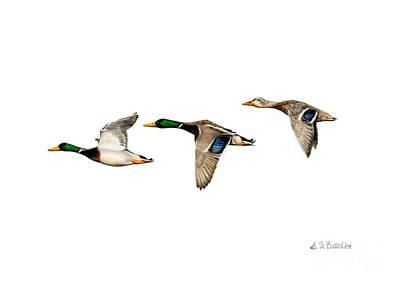 Wild Ducks Painting - Flying Mallards by Sarah Batalka